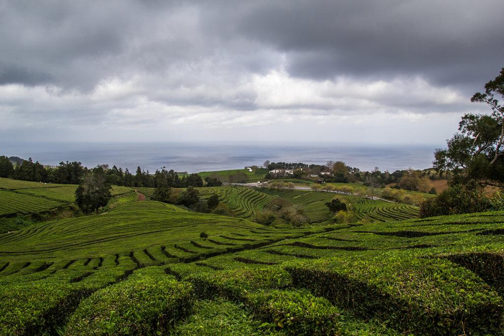 Teeplantage Chá Gorreana